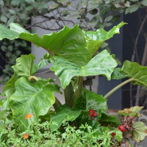 Alocasia 'Low Rider'