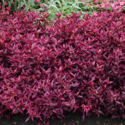 Alternanthera brasiliana 'Brazilian Red Hots'