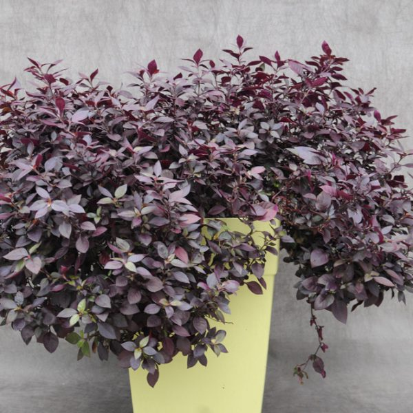 Alternanthera brasiliana 'Little Ruby'