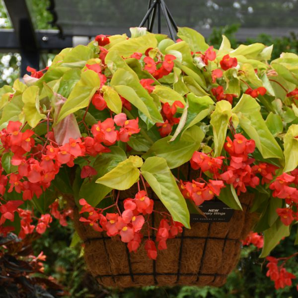 Begonia 'Canary Wing'