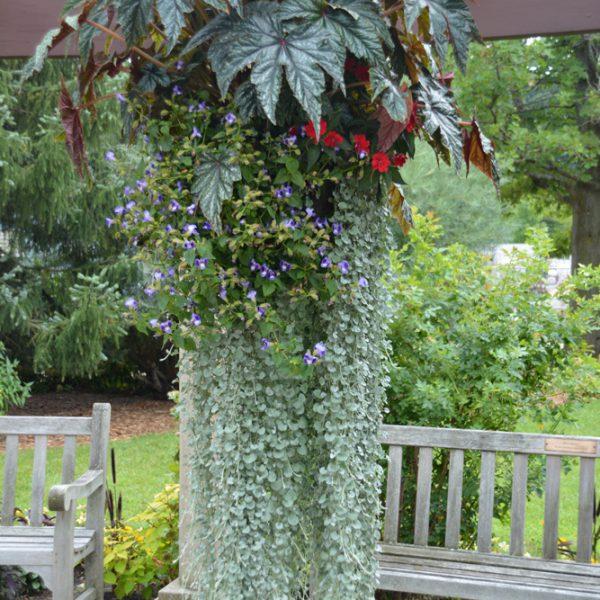 Begonia 'Gryphon'