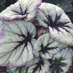 Begonia 'Harmony's Fire Woman'