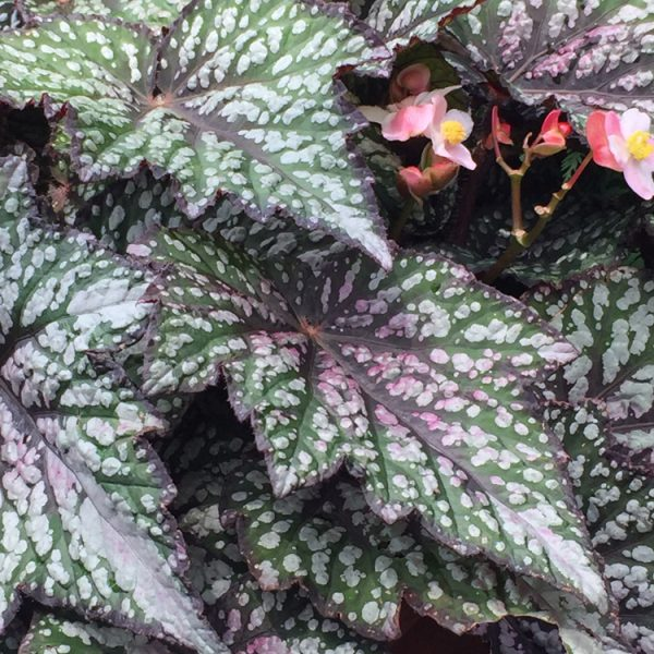 Begonia rex Jurassic 'Green Streaks'
