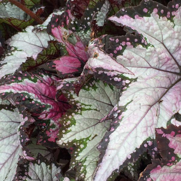 Begonia rex Jurassic 'Pink Shades'
