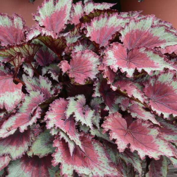 Begonia rex Jurassic 'Red Splash'