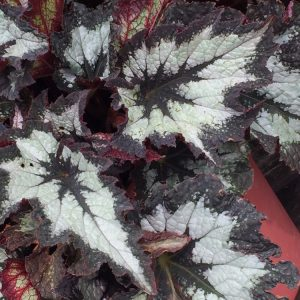 Begonia rex Jurassic 'Silver Point'