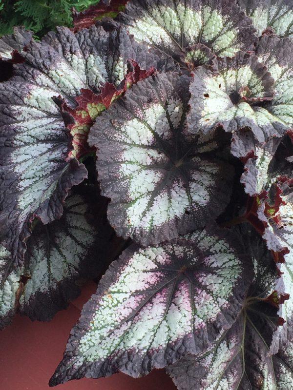 Begonia rex Jurassic 'Silver Swirl'
