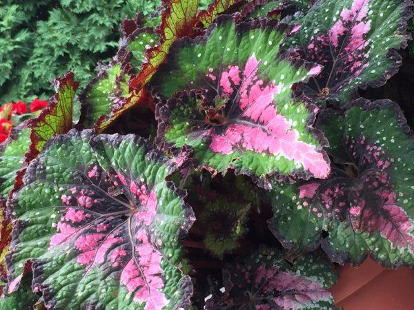Begonia rex Jurassic 'Watermelon'