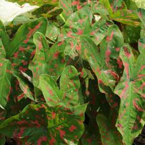 Caladium Painted Frog Red Bellied Tree Frog