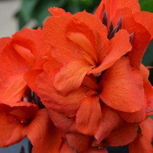 Canna Cannova® Bronze Orange