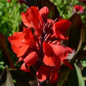 Canna Cannova 'Bronze Scarlet'