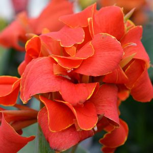Canna Cannova Select 'Red Flame'
