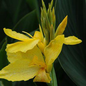 Canna série Cannova 'Yellow'