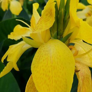 Canna Deluxe 'Lemon and Gin'