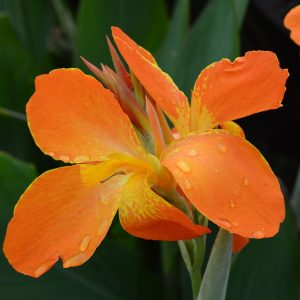 Canna 'Orange Punch'