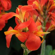 Canna 'South Pacific Scarlet'