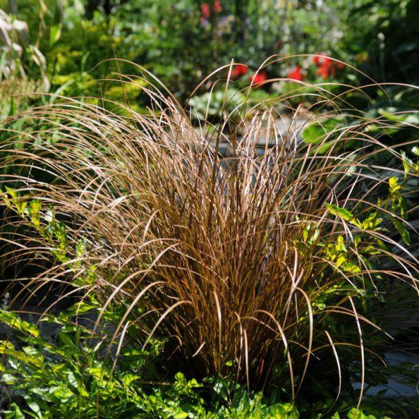 Carex flagelligera 'Auburn'