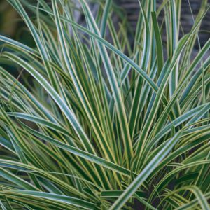 Carex oshimensis EverColor® Evercream