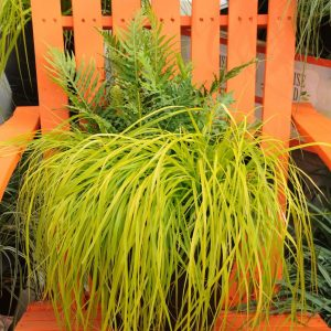 Carex d'Oshimen EverColor® Everillo