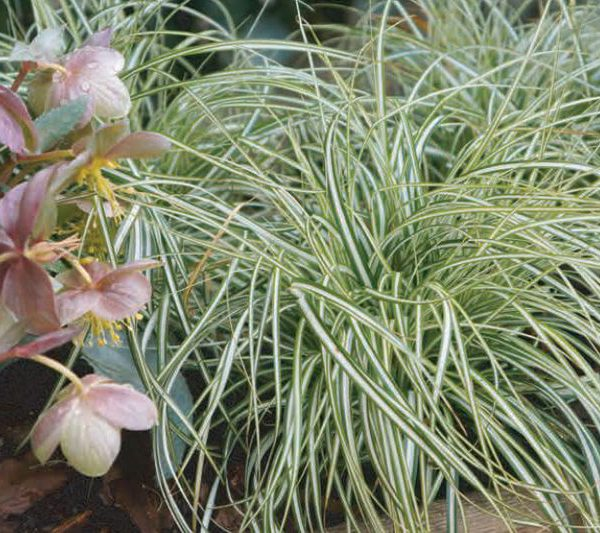 Carex oshimensis EverColor® Everlite