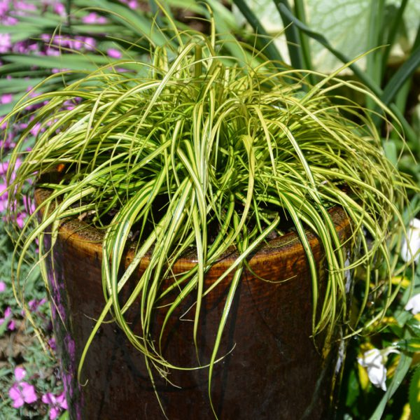 Carex oshimensis EverColor® Eversheen