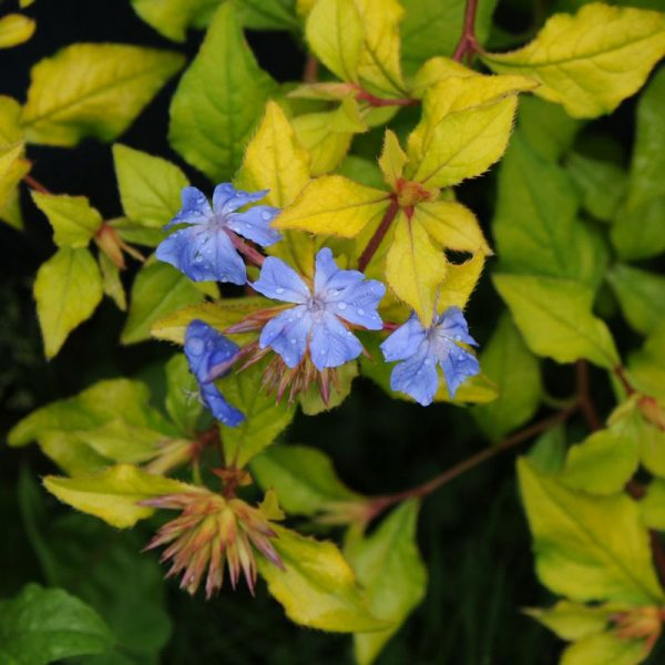 Ceratostigma Willmottianum 'My Love'