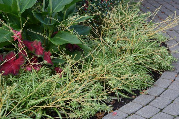 Chlorophytum 'Green Edge'