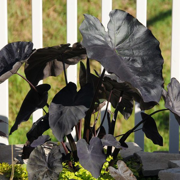 Colocasia esculenta Royal Hawaiian® 'Black Coral'