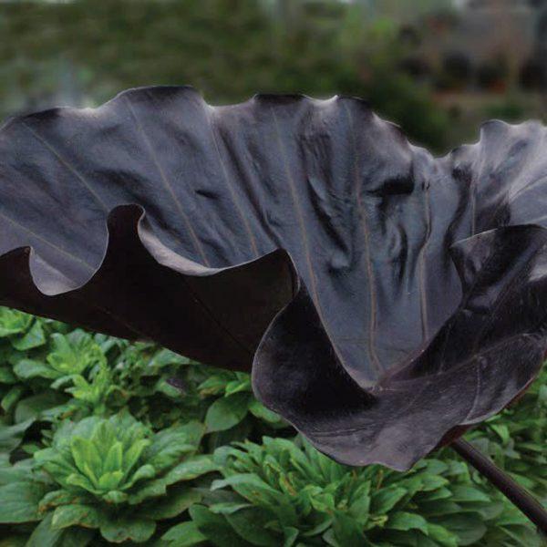 Colocasia 'Black Goblet'