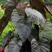 Colocasia esculenta Royal Hawaiian® 'Diamond Head'