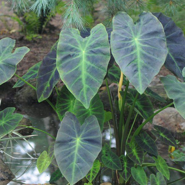 Colocasia esculenta 'Illustris'