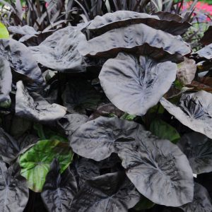 Colocasia esculenta 'Kona Coffee'