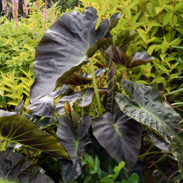 Colocasia esculenta Royal Hawaiian® Aloha