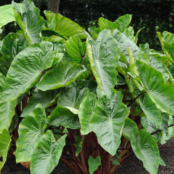 Colocasia esculenta Royal Hawaiian® 'Hawaiian Punch'