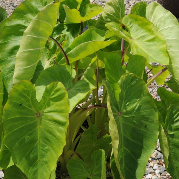 Colocasia esculenta Royal Hawaiian® 'Maui Gold'