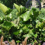 Colocasia esculenta Royal Hawaiian® 'Tea Cup'