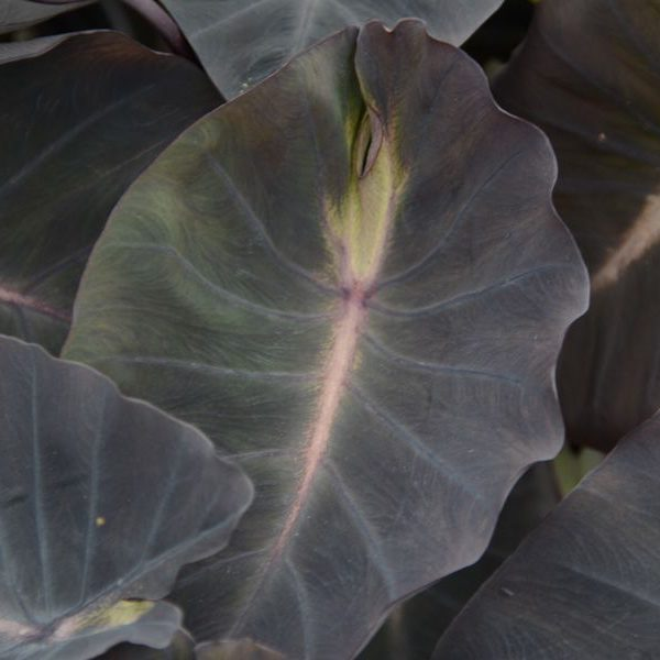 Colocasia esculenta Royal Hawaiian® 'Tropical Storm'