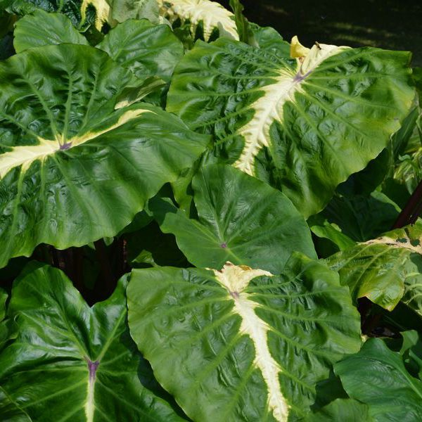 Colocasia esculenta Royal Hawaiian® 'White Lava'