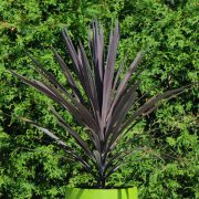Cordyline australis 'Red Sensation'