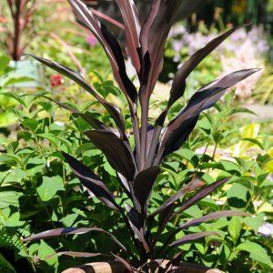 Cordyline fruticosa Caruba™ Black 'Bra01'