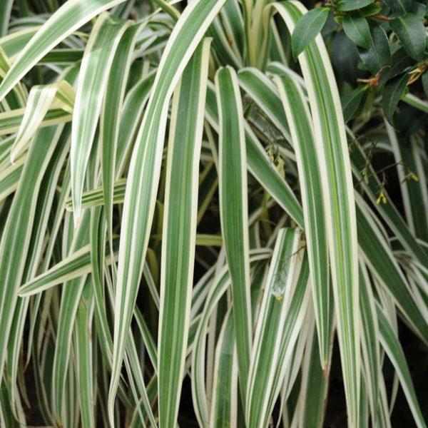 Dianella tasmanica 'Variegata'