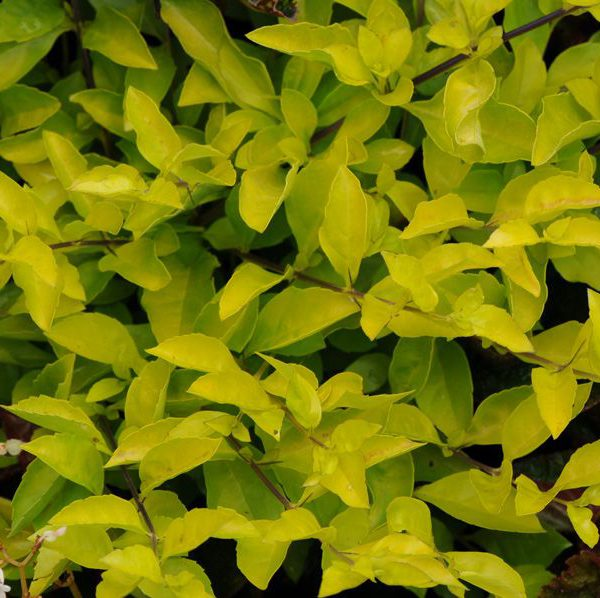 Duranta erecta 'Cuban Gold'