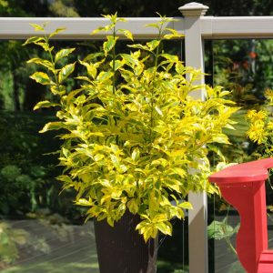 Duranta erecta 'Gold Edge'