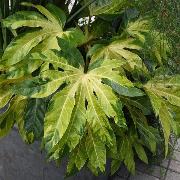 Fatsia japonica 'Murakuma Nishiki'