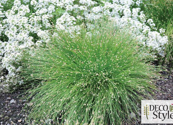 Isolepis cernua 'Live Wire'