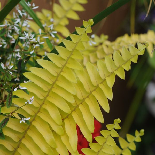 Nephrolepis exaltata 'Rita's Gold'