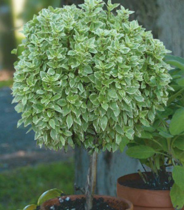 Ocimum citriodorum 'Pesto Perpetuo' sur tige