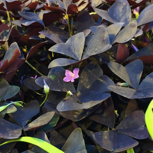 Oxalis triangularis Allure™ Ebony