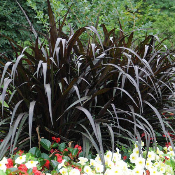 Pennisetum purpureum First Knight™