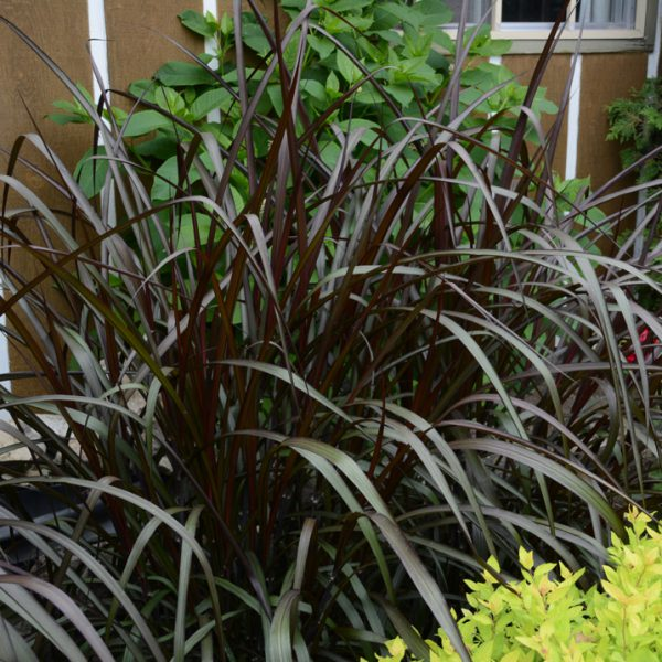 Pennisetum purpureum 'Majestic'